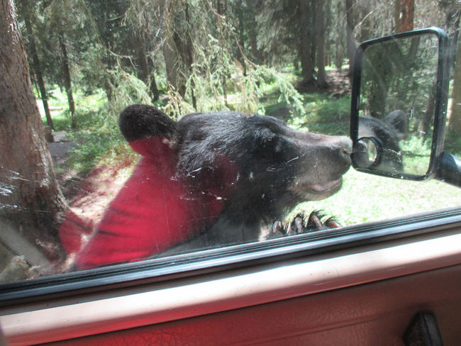 A bear peers into a car in the Castle Mountain Campground late Tuesday. Parks Canada/Supplied